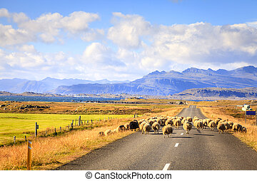sheep, izland, út