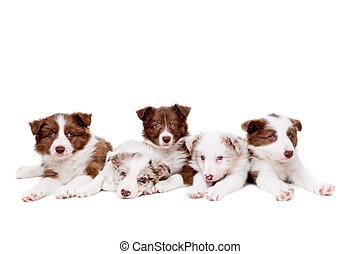 skót juhászkutya, csoport, öt, kutyus, határ, kutyák