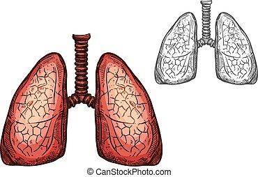 skicc, orgánum, elszigetelt, anatómia, tüdő, emberi