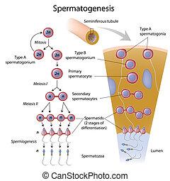 spermatogenesis, eps10