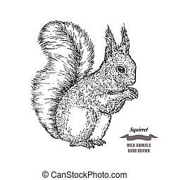 squirrel., metszés, skicc, ábra, kéz, háttér., vektor, black erdő, állat, tinta, húzott, fehér, style.