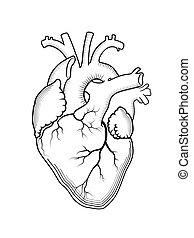 structure., orgánum, heart., anatómiai, belső, emberi