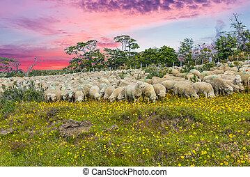 suinset, felett, tierra del fuego, csorda, sheep