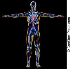 system., csontváz-, ember, cardiovascular, x-ray.