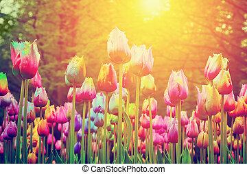 színes, nap, liget, menstruáció, tulipánok, szüret, shining.