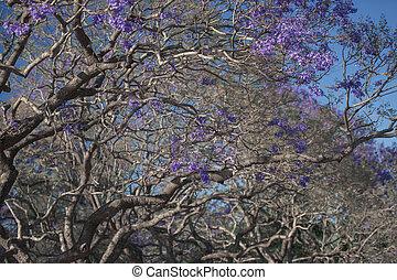 színpompás, jacaranda, fa, virágzó