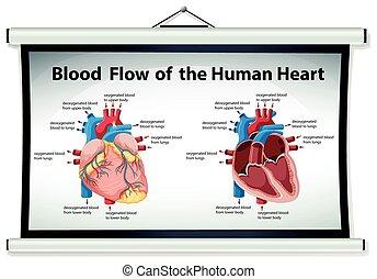 szív, kiállítás, folyik ábra, vér, emberi