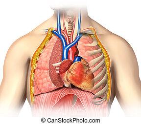 szív, lungs., kivágott, anatómia, vér, ember, legfontosabb, erezet, mellkas, arterias