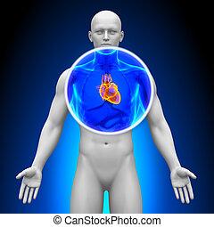 szív, orvosi, -, röntgen, fürkész