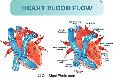 szív, poster., keringés, system., orvosi, folyik, ábra, anatomical ábra, címkével ellátott, vektor, vér, átrium, testüreg