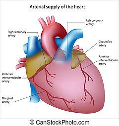 szív, vér, beszerzés