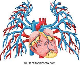 szív, white háttér, emberi