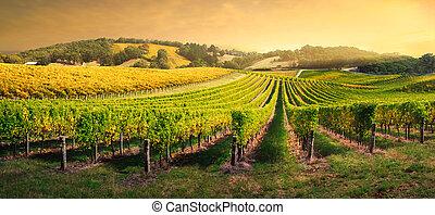 szőlőskert, fény