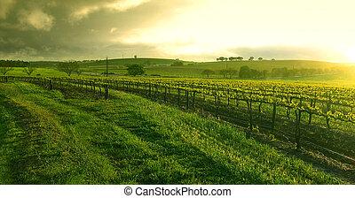 szőlőskert, felett, napkelte