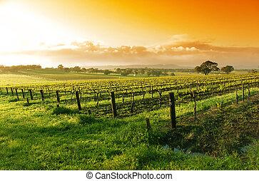 szőlőskert, napkelte