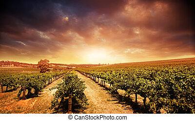 szőlőskert, napnyugta