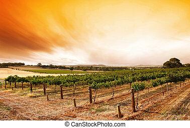 szőlőskert, nyár, napkelte