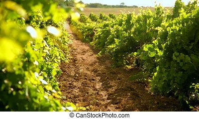 szőlőskert, nyár