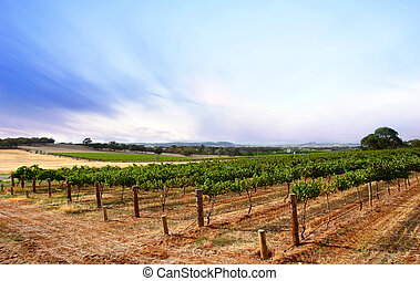 szőlőskert, nyár, szürkület