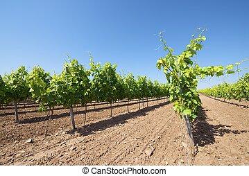 szőlőskert