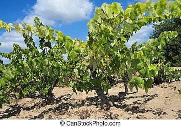 szőlőskert, szőlőtőke
