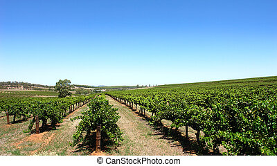 szőlőskert, tiszta égbolt