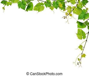 szőlőtőke, friss, határ