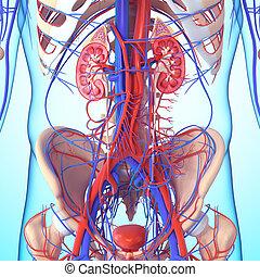 szakasz, vese, kereszt, anatómia