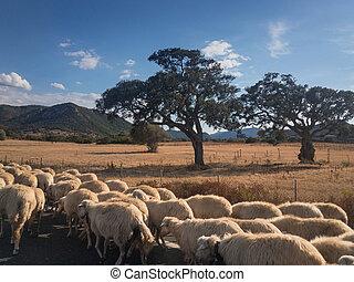 szardínia, sheeps, út, csorda