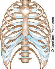 szegycsont, thorax-, bakhátak, csigolya