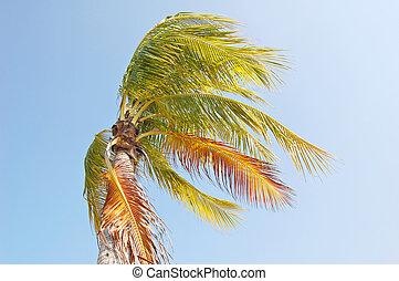 szeles, pálma
