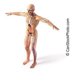 szellem, anatómia, effect., ábra, rendszerek, összes, ember