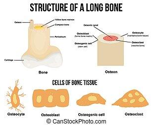 szerkezet, hosszú, csont