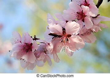 szilva, gally, fa, virágzó, cseresznye