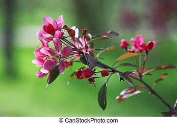 szilva, virágzás
