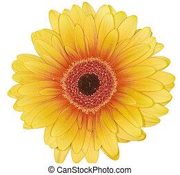 szirom, virág, sárga