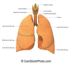 tüdő, belső, described, rendszer, légzési, anatómia, emberi, elnevezés, kilátás, hangerők, előbbi