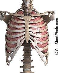 tüdő, emberi, mellkas