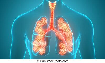tüdő, fogmeder, légzőrendszer, anatómia, emberi