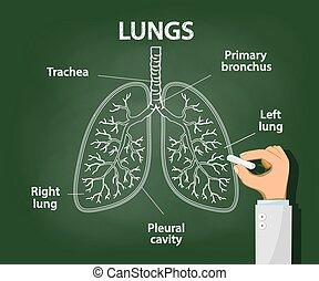tüdő, orvos, csalogat, emberi, kréta, anatómia