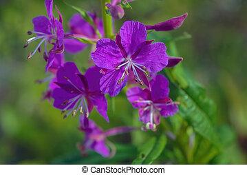 tüzifa, háttér, virág, természetes, close-up., bíbor, fényes, életlen