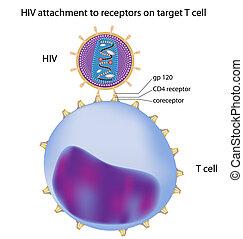 t, hiv, sejt, hozzáerősítés