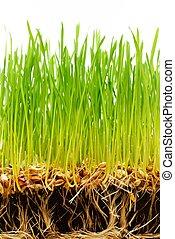 talaj, szemesedik, zöld, friss, fű, gyökér