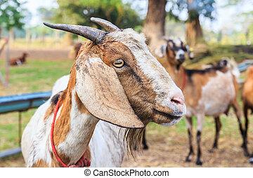 tanya, elzáródik, goat