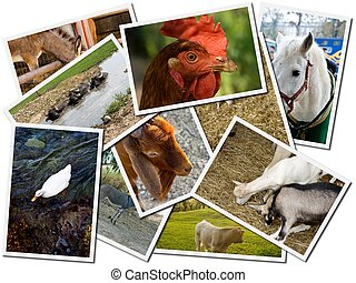 tanya, levelezőlapok, állat