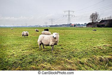 tanya, sheeps, holland