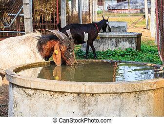 tanya, víz, ivás, kecske