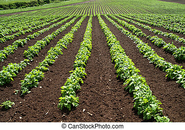 tanya, zöld növényi, megvonalaz, field.