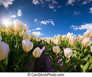 tavasz, németalföld, farm., kivirul, tulipánok, rózsaszínű