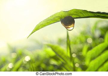 tea, fogalom, zöld, természet, fénykép